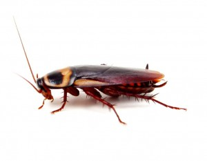 Cockroach Control-Pest Control Lincolnshire