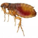 Flea Control-Pest Control Lincolnshire