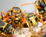 Wasp Nest Removal-Pest Control Lincolnshire
