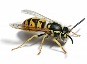 Wasp Nest Removal Houghton