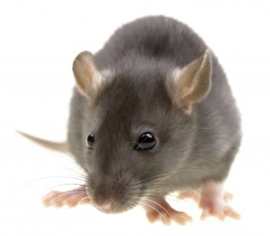 Rodent Control lincolnshire