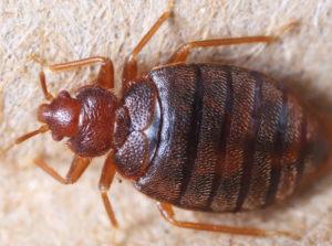 Bedbug control Lincoln